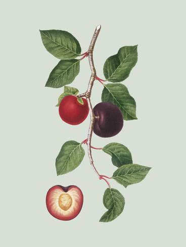 Albicocca dall'illustrazione di Pomona Italiana