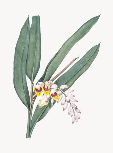 Ilustración vintage de shellflower
