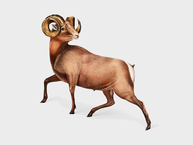 Illustrazione di Rocky Mountain Sheep