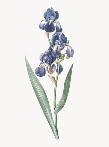 Ilustración vintage de iris dálmata