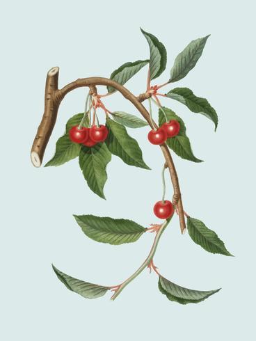 Cherry from Pomona Italiana illustration
