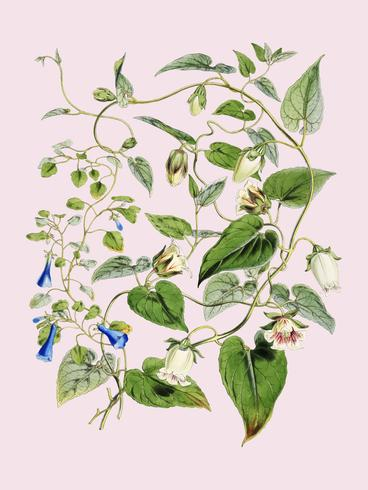 Indisk tobak (Lobelia inflata) från Illustrationer av Himalayanplantor (1855) av WH (Walter Hood) Fitch (1817-1892). Digitalt förbättrad av rawpixel.