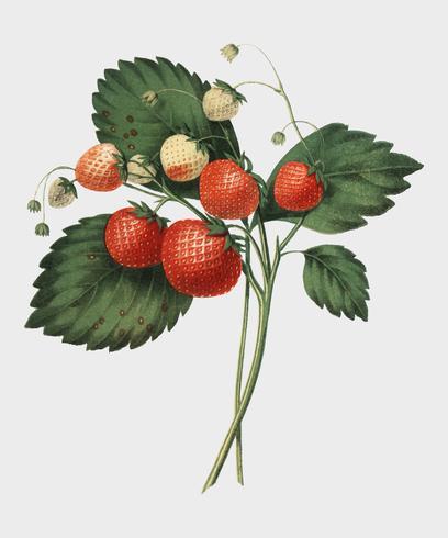The Boston Pine Strawberry (1852) by Charles Hovey, a vintage illustration of fresh strawberries. Digitally enhancedby rawpixel.