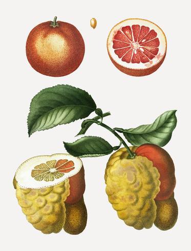 Fruta de naranja de sangre