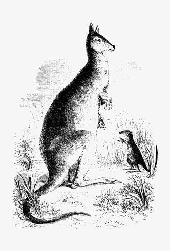 Disegno dell'ombra di canguro