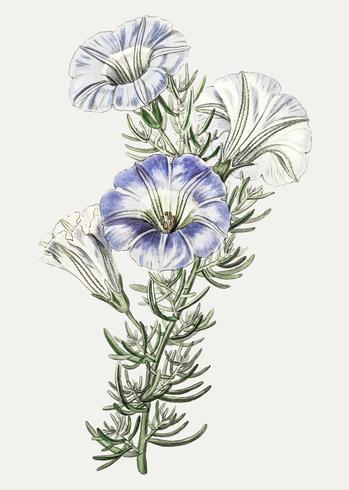 Flor nolana