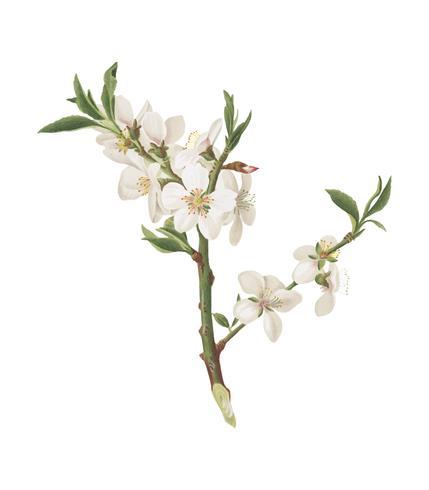 Almond tree flower from Pomona Italiana illustration