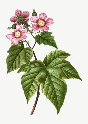 Blommande hallonbuske