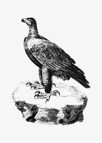 Zwarte adelaarsschaduwtekening