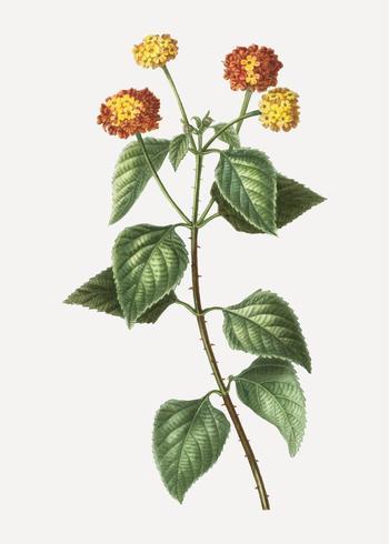 Tickberry växt