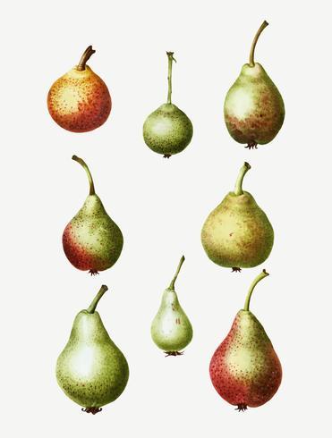 Vintage päron frukt ritning