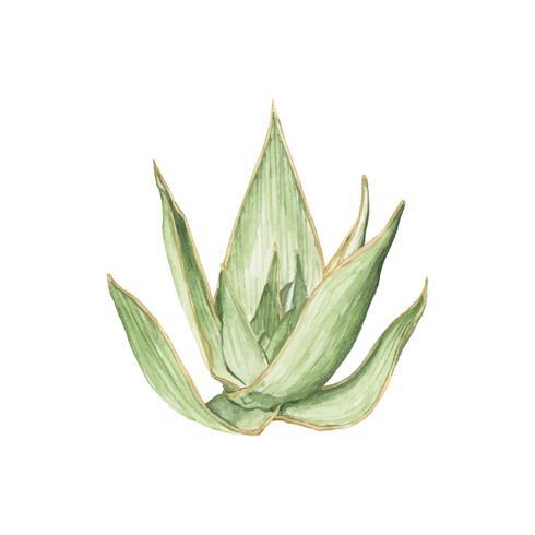 Mão, desenhado, aloe, striata, planta
