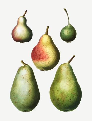 Pear Types Images