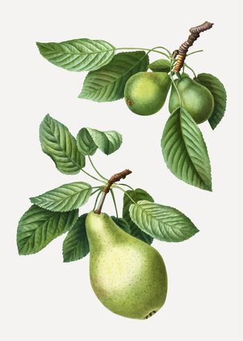 Pears on a branch