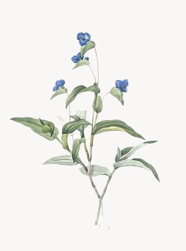 Illustration vintage de Spiderwort bleu