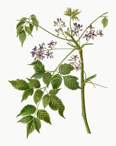Chinaberry de florescência
