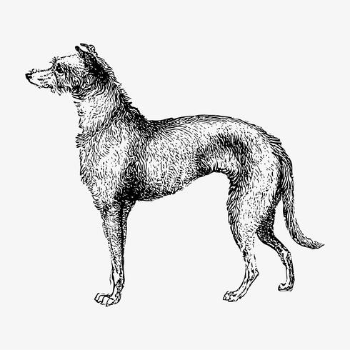 Schotse Deerhound schaduwtekening