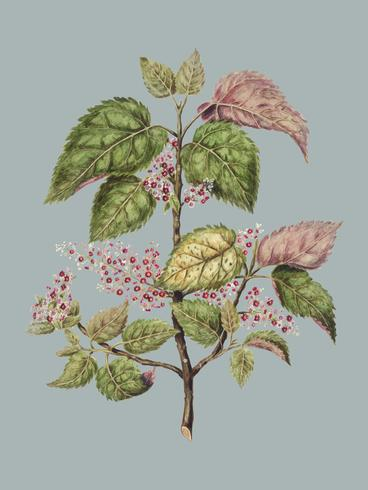 Antique plant Makomako - Aristotelia Racemosa drawn by Sarah Featon (1848 - 1927). Digitally enhanced by rawpixel.