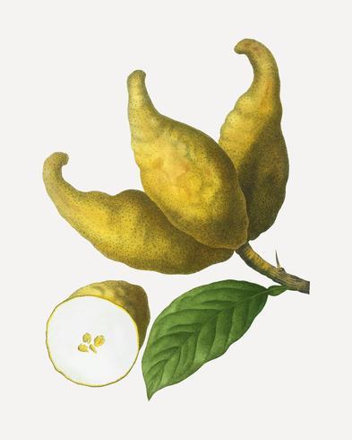 Racimo de limones