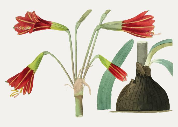 Fleur de Habranthus