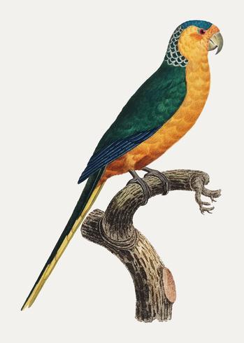 Periquito-de-testa-amarela