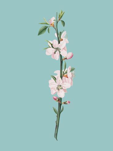 Flor de durazno de la ilustración de pomona italiana