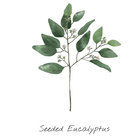 Illustration av Eucalyptus isolerad på vit bakgrund.