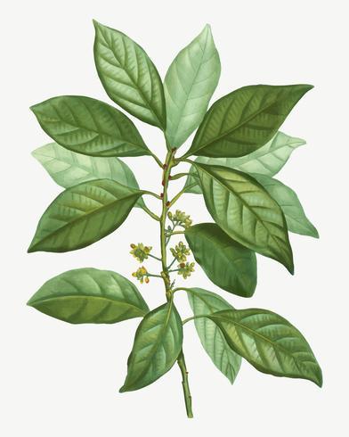Laurus borbonia tree branch