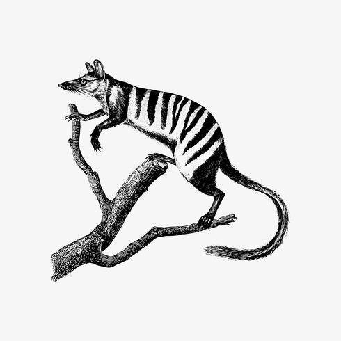 Dibujo de sombra numbat