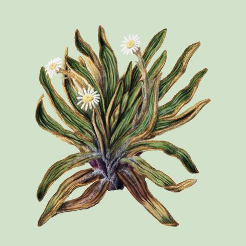 Antique plant Mountain daisy drawn by Sarah Featon (1848 - 1927). Digitally enhanced by rawpixel.