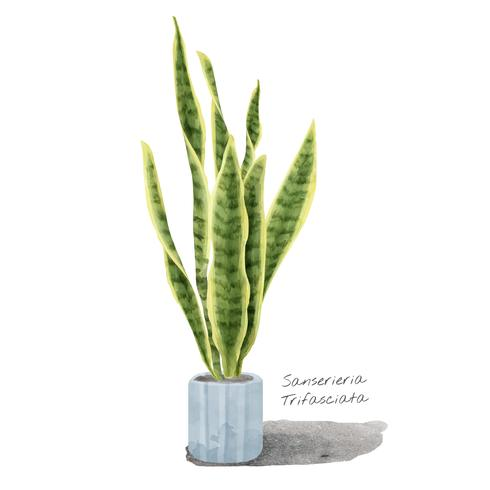 Sansevieria trifasciata blad isolerad på vit bakgrund