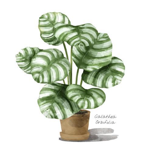 Calathea orbifolia leaf isolated on white background