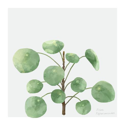 Pilea Peperomioides plante isolée sur fond blanc