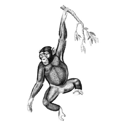 Vintage illustrationer av schimpans