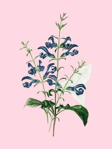 Salvia patens geïllustreerd door Charles Dessalines D 'Orbigny (1806-1876). Digitaal verbeterd van onze eigen uitgave van Dictionnaire Universel D'histoire Naturelle uit 1892.