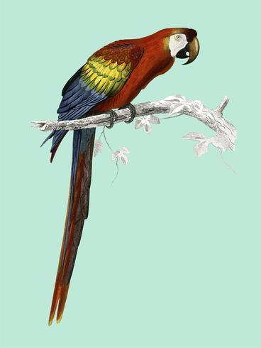 Macaw (Ara canga) geïllustreerd door Charles Dessalines D 'Orbigny (1806-1876). Digitaal verbeterd van onze eigen uitgave van Dictionnaire Universel D'histoire Naturelle uit 1892.