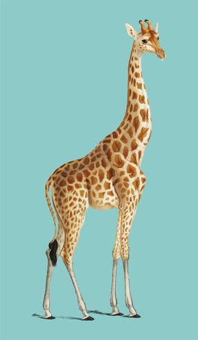 Jirafa (Giraffa camelopardalis) ilustrada por Charles Dessalines D 'Orbigny (1806-1876). Mejorado digitalmente desde nuestra propia edición 1892 de Dictionnaire Universel D'histoire Naturelle.