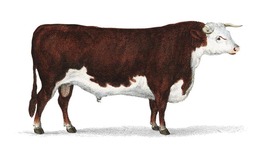 Animated Nature (1855), un retrato de un toro. Mejorado digitalmente por rawpixel.