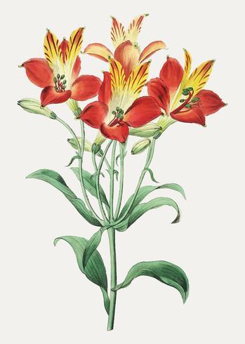 Lírio peruano vermelho