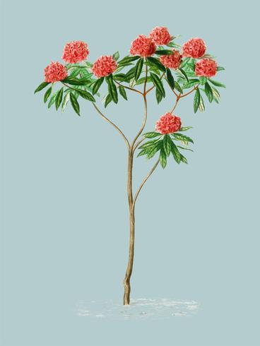 Rhododendron arboreum illustrated by Charles Dessalines D' Orbigny (1806-1876). Digitally enhanced from our own 1892 edition of Dictionnaire Universel D'histoire Naturelle.