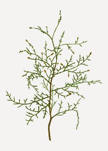 Ramo di albero di Sictus