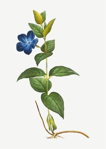 Fleur de bigorneau