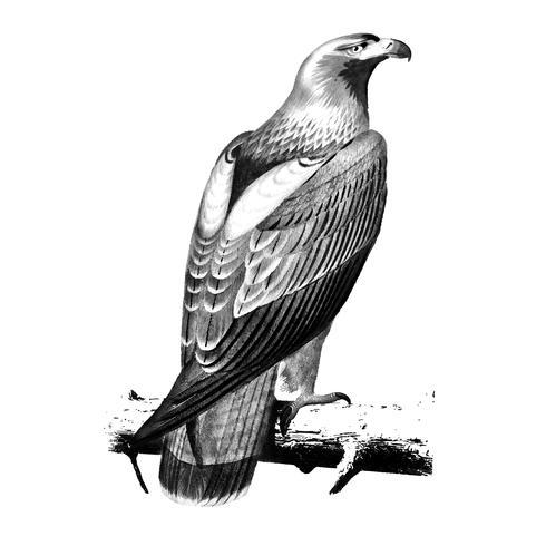 Ilustraciones vintage de águila imperial oriental