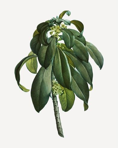 Spurge Laurel Unkraut