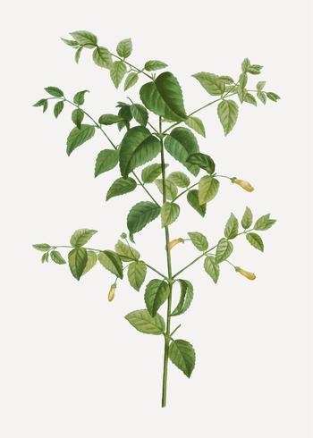 Planta fúcsia
