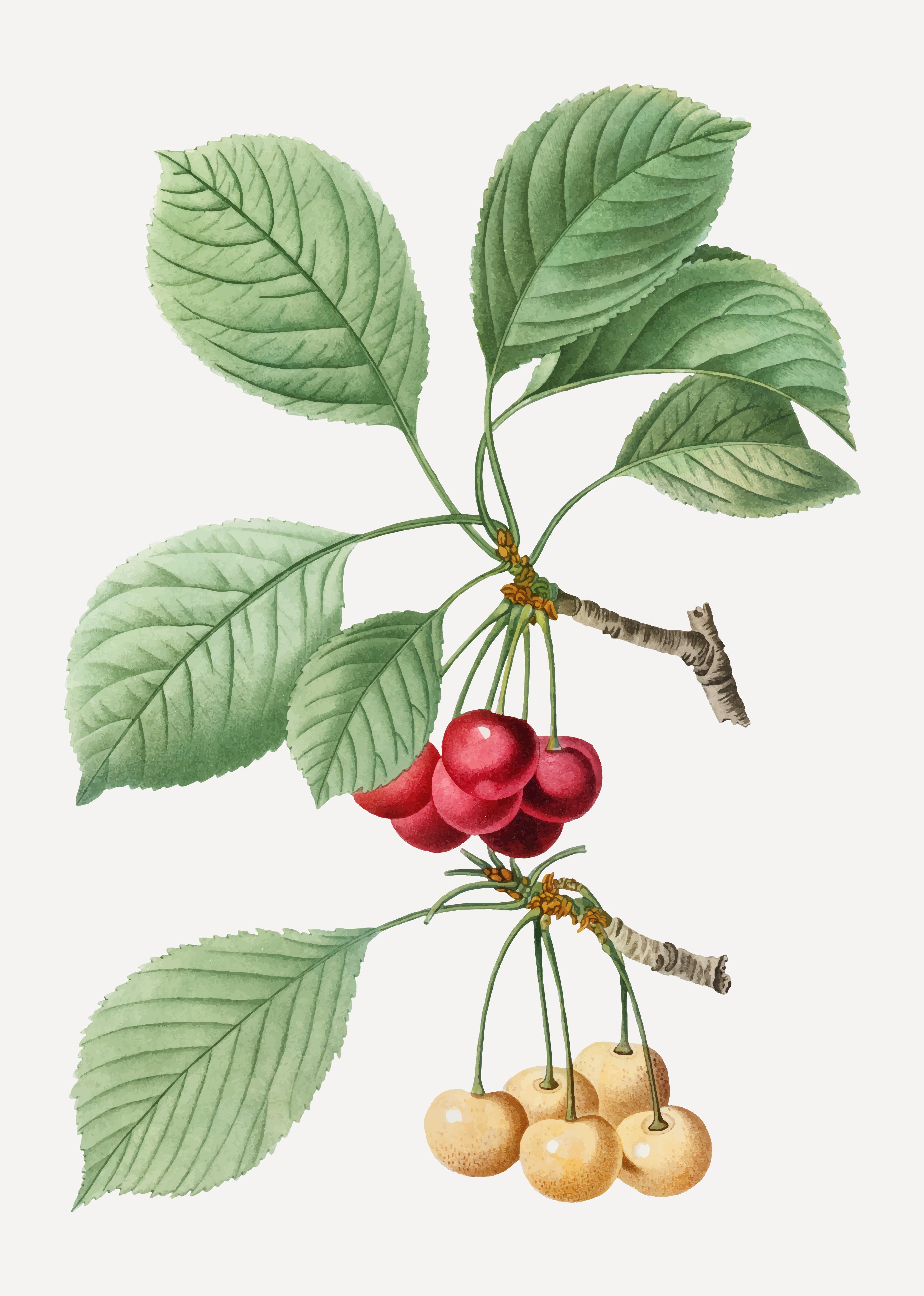 Cherry Tree Branch Download Free Vector Art Stock