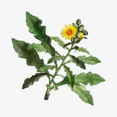 Yellow Sow Thistle