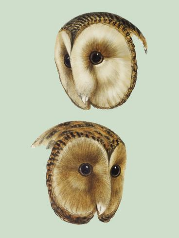 1. Lechuza común (Strix personata) 2. Ilustración de lechuza enmascarada (Strix castanops)
