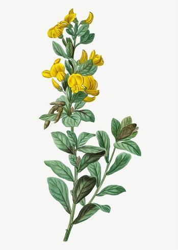Flor de triflora de Rafnia florescendo