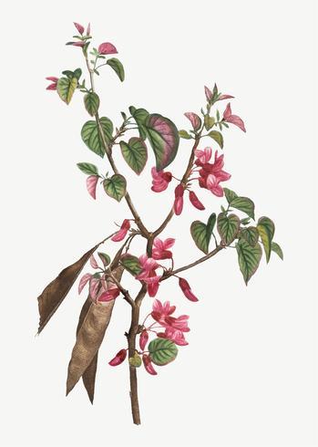 Arbre de Judas en fleurs